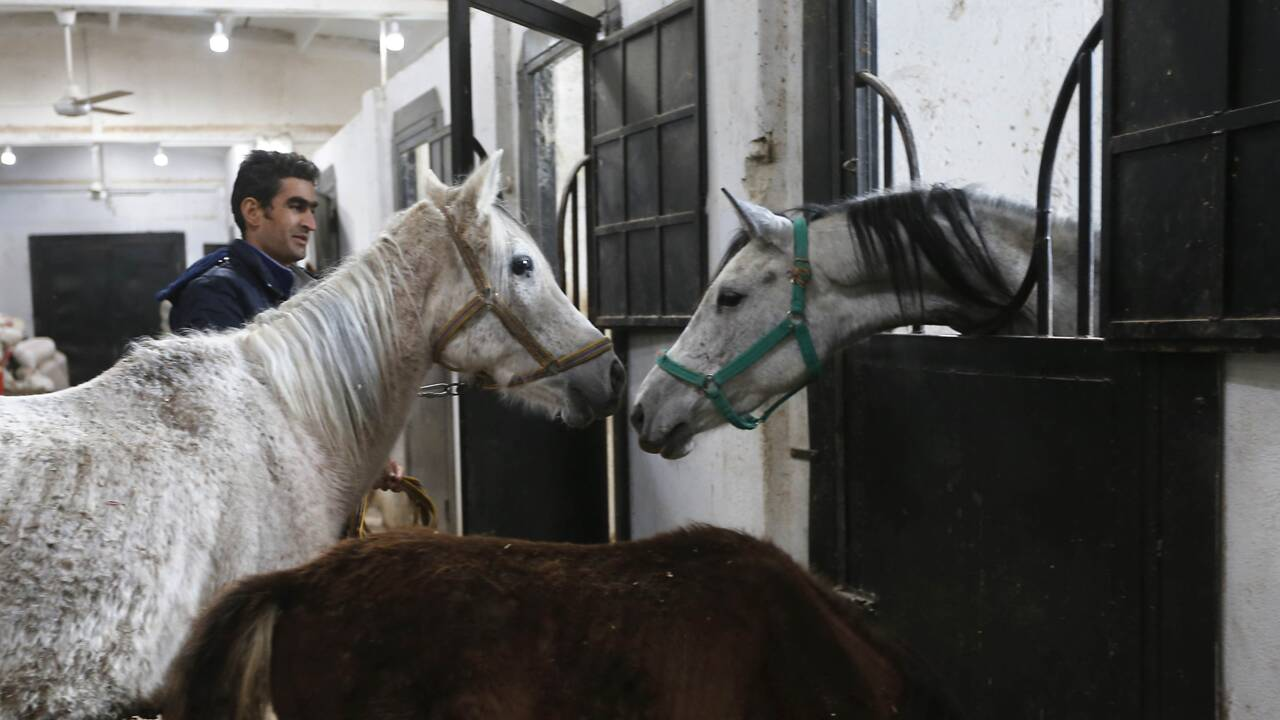 En Syrie, les pur-sang arabes menacés et traumatisés par la guerre