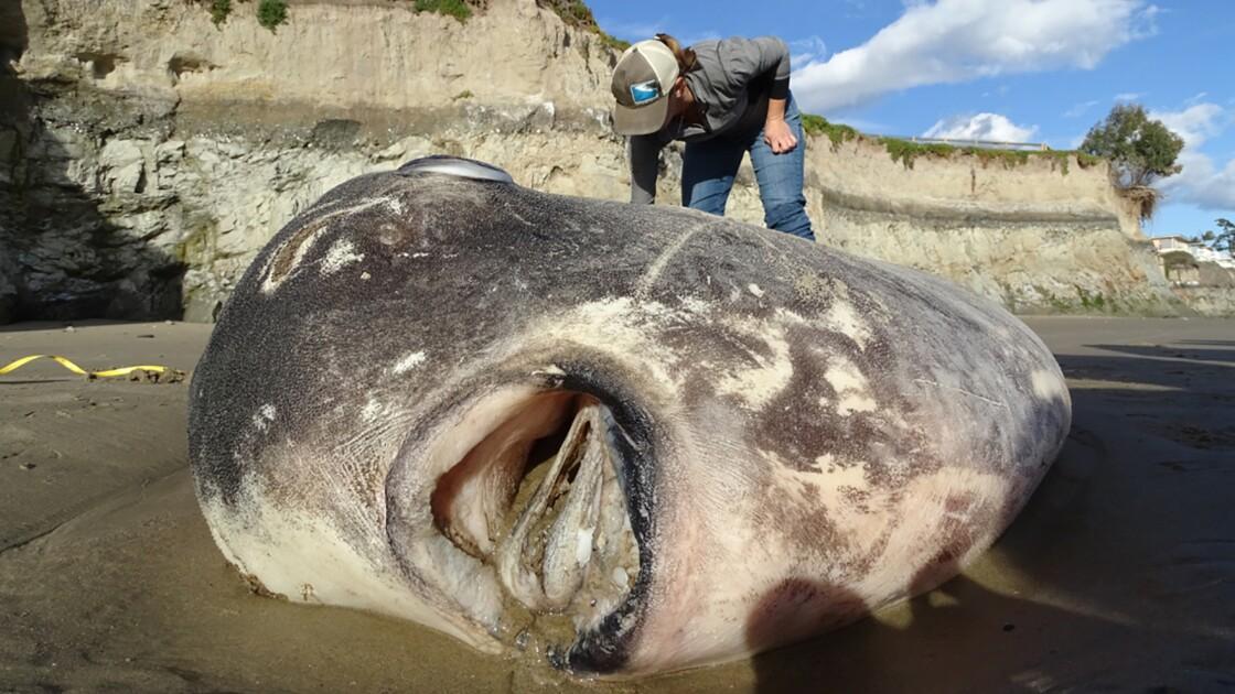 Un immense poisson échoué sur une plage de Californie étonne les scientifiques
