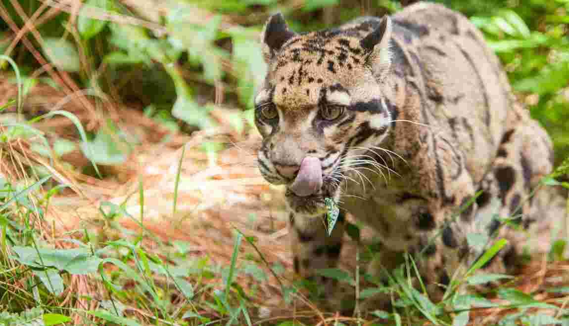 Une espèce de panthère disparue 35 ans observée pour la première fois à Taïwan ?