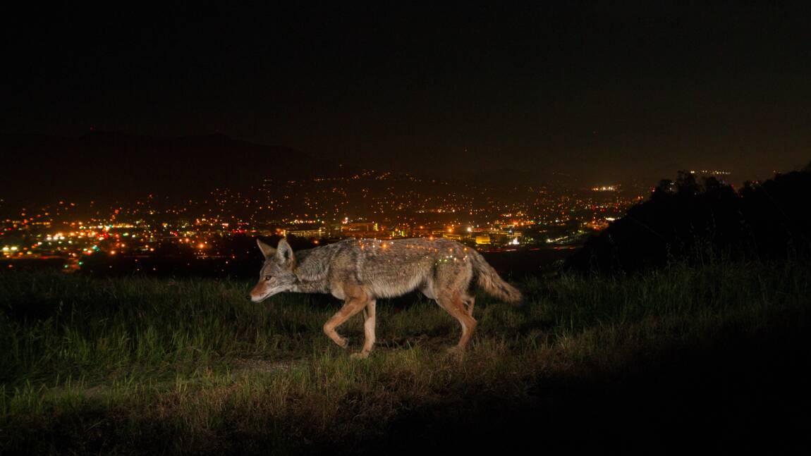 Ces animaux se mettent à vivre la nuit… pour nous fuir