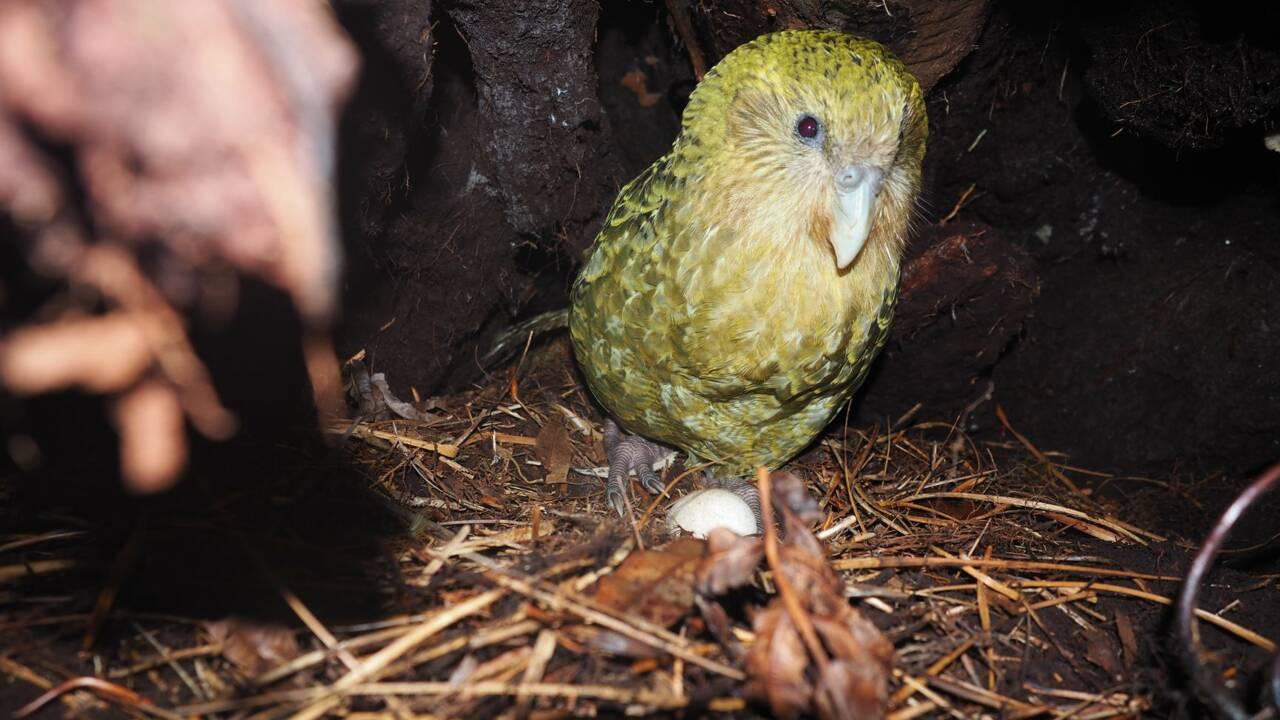 En Nouvelle-Zélande, des chercheurs redoublent d'ingéniosité pour sauver un drôle de perroquet de l'extinction