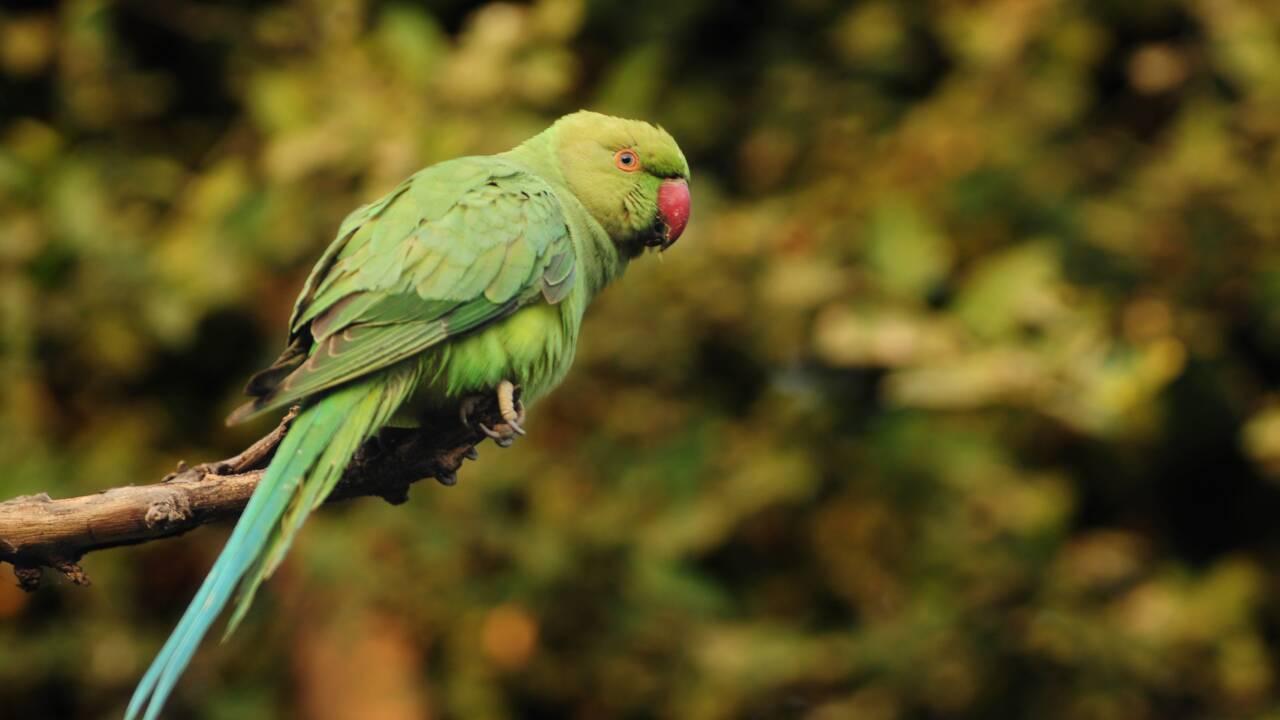 En Inde, des perroquets en quête d'opium sèment le trouble dans les champs de pavot