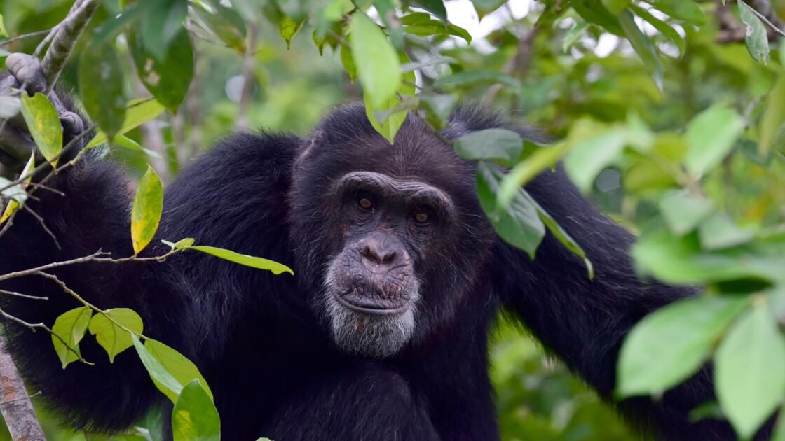 Chez les chimpanzés, la diversité culturelle aussi est victime des humains
