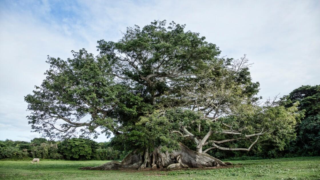 Un an après avoir été dévasté par les ouragans, un arbre de 400 ans fleurit de nouveau à Porto Rico
