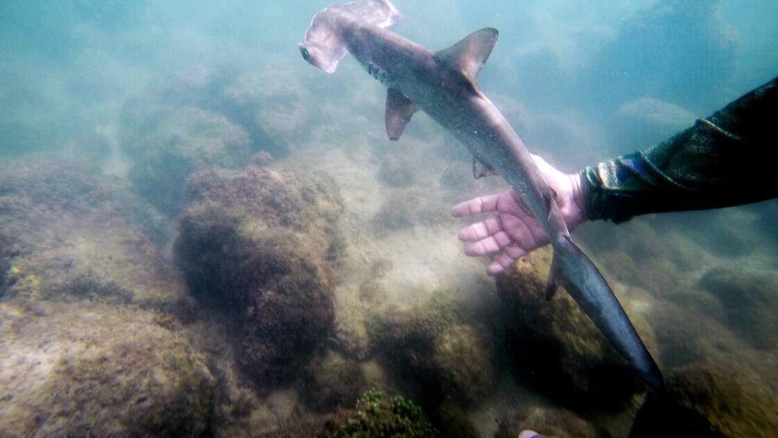 Un havre pour requins-marteaux découvert aux Galapagos