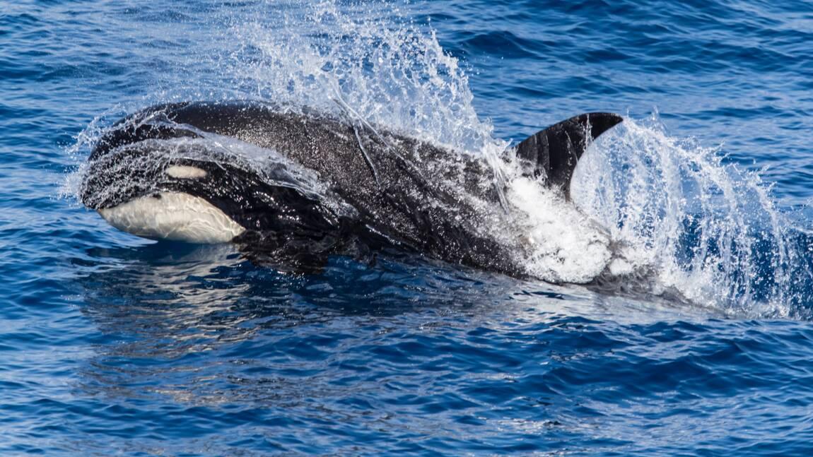 Au large du Chili, des scientifiques ont réussi à filmer une mystérieuse population d'orques