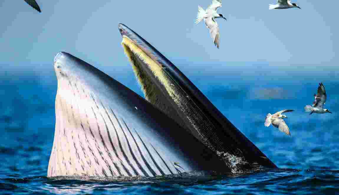 Un plongeur s'est fait happer puis recracher par une baleine en Afrique du Sud