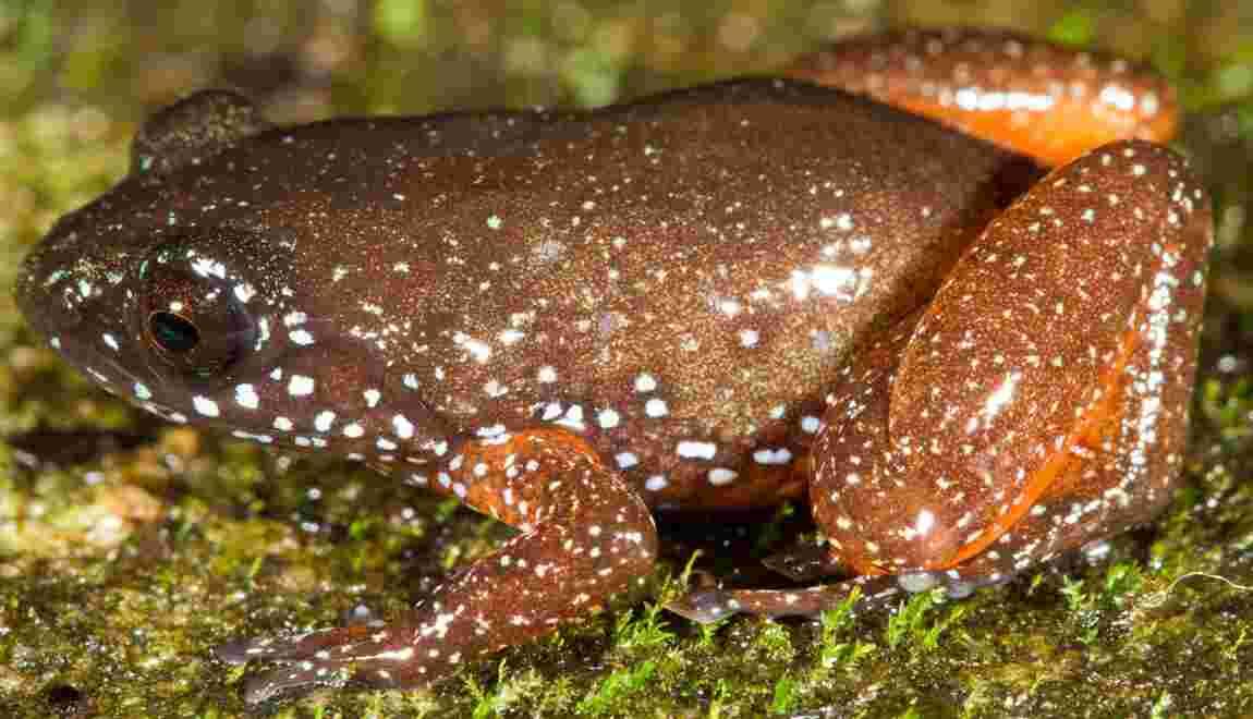 Une nouvelle espèce de grenouille orange découverte en Inde
