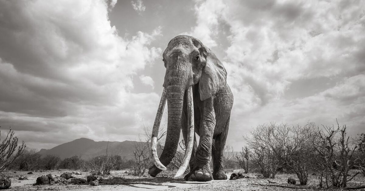 Un photographe capture d'incroyables images d'une éléphante aux longues défenses