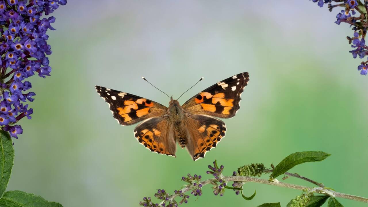 Des millions de papillons envahissent le ciel de Californie