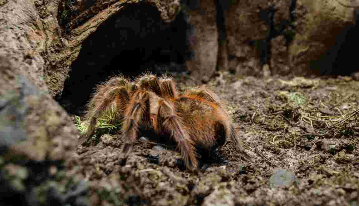 Stormtropis : une nouvelle mygale porte le nom des soldats de Star Wars