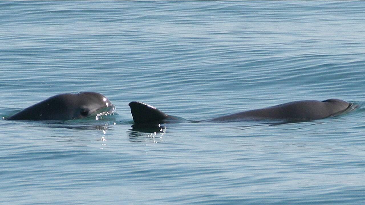 Au bord de l'extinction, le marsouin du Pacifique ne compterait plus qu'une dizaine d'individus
