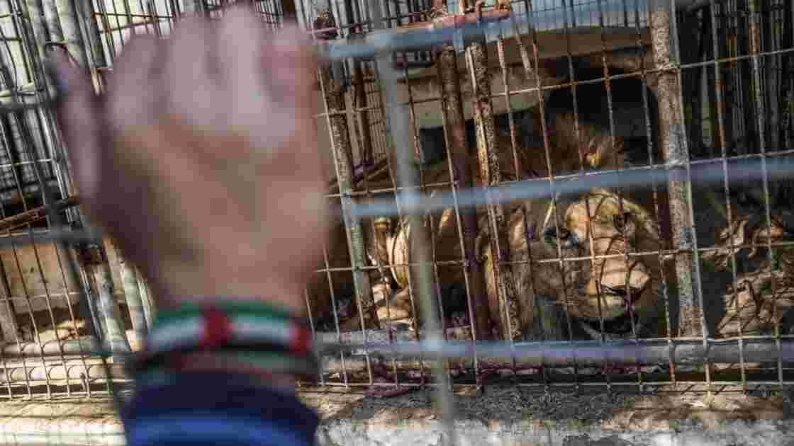 Cinq lions et d'autres animaux vont être évacués d'un zoo de Gaza