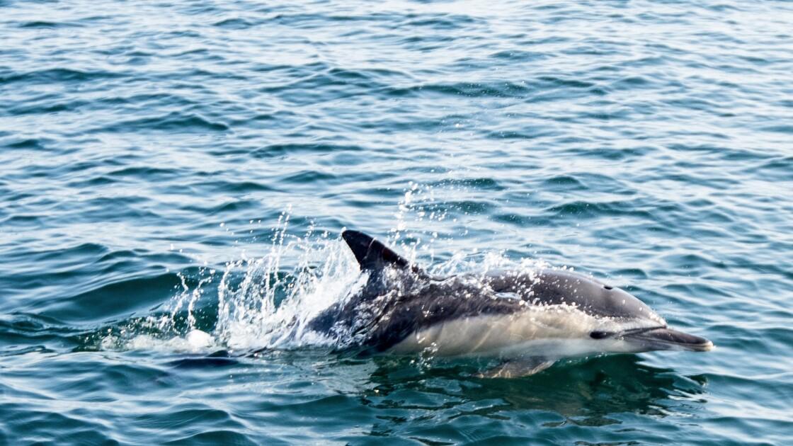 En France, plus de 1.100 dauphins échoués sur la côte atlantique depuis janvier