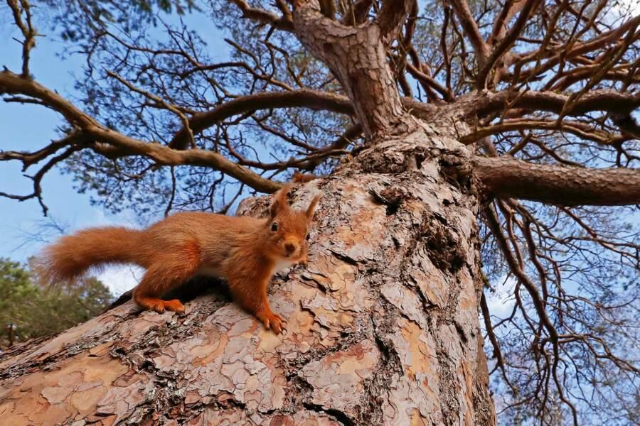 Un écureuil roux écossais aux quatre saisons