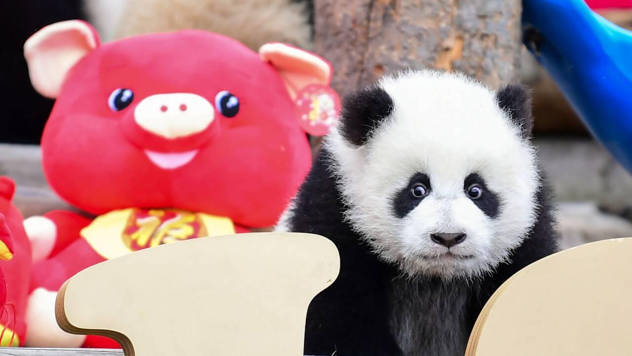 Un zoo californien doit dire au revoir à ses pandas, rapatriés en Chine