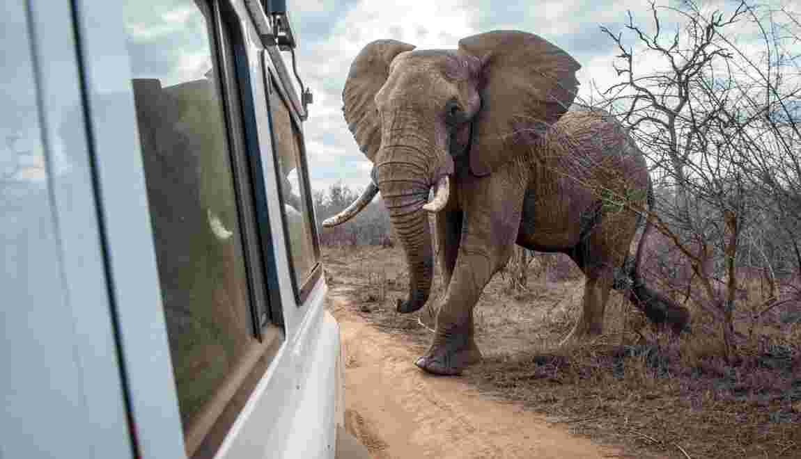 Tourisme : les safaris pourraient rendre les éléphants plus agressifs en Afrique