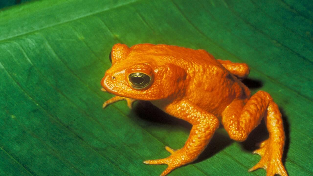 En 50 ans, ce champignon mortel aurait fait disparaitre 90 espèces d'amphibiens