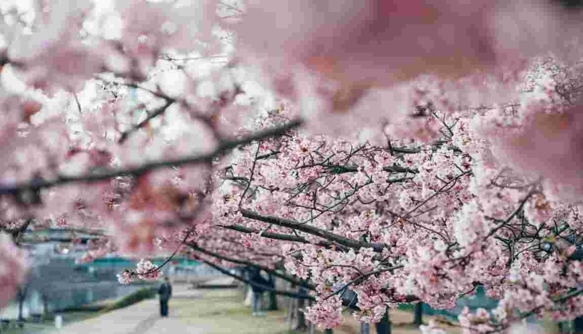 Le Japon célèbre la floraison de ses cerisiers