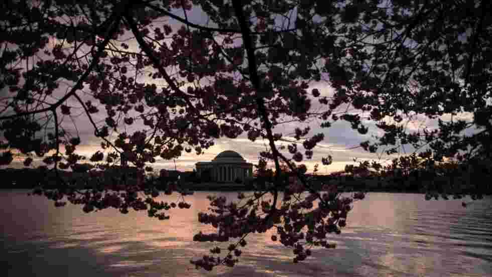 Washington DC célèbre la floraison de ses cerisiers japonais