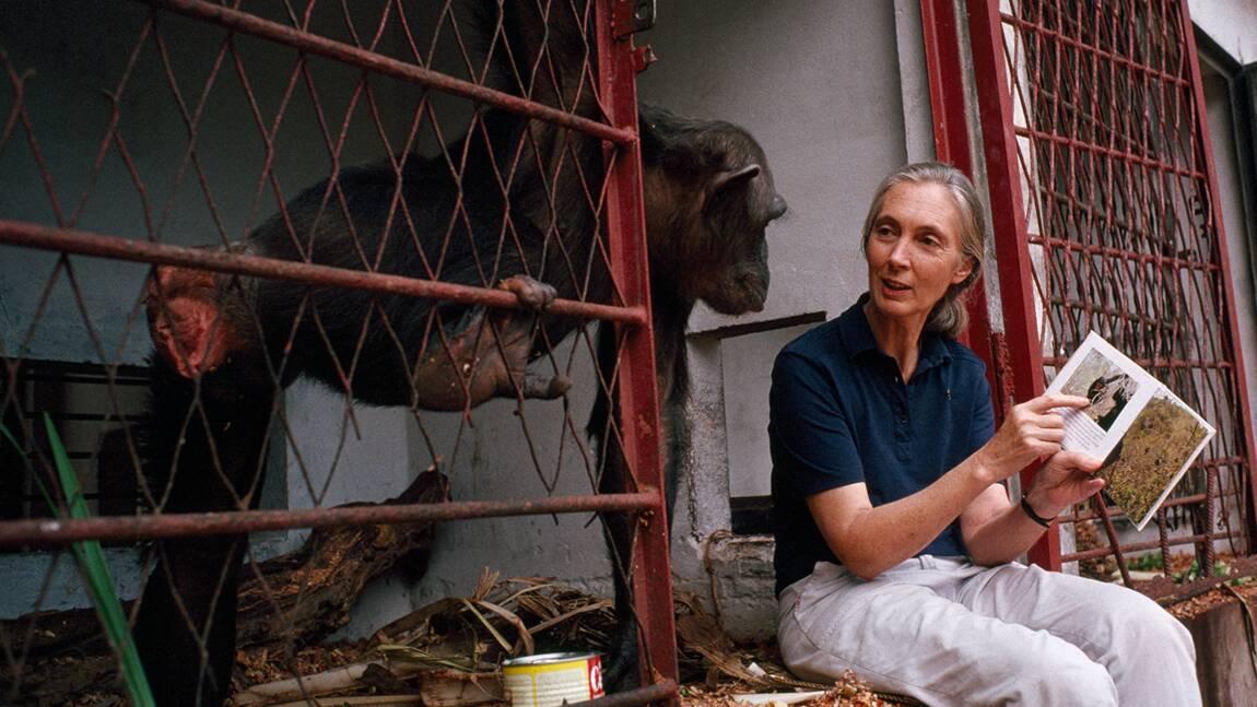 Jane Goodall : 8 choses à savoir sur la primatologue qui a changé notre regard sur les chimpanzés