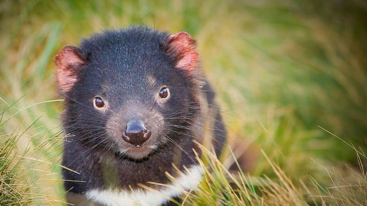 On a rencontré le diable… de Tasmanie