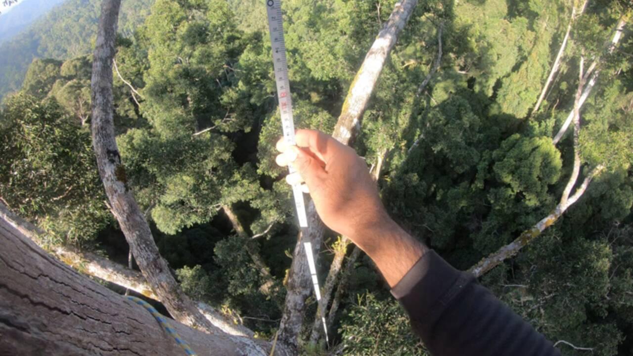 Des chercheurs découvrent le plus grand arbre tropical au monde dans une forêt de Bornéo