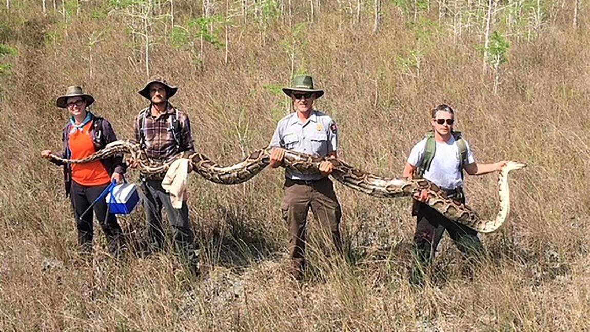 Un python birman de cinq mètres de long capturé dans une réserve de Floride