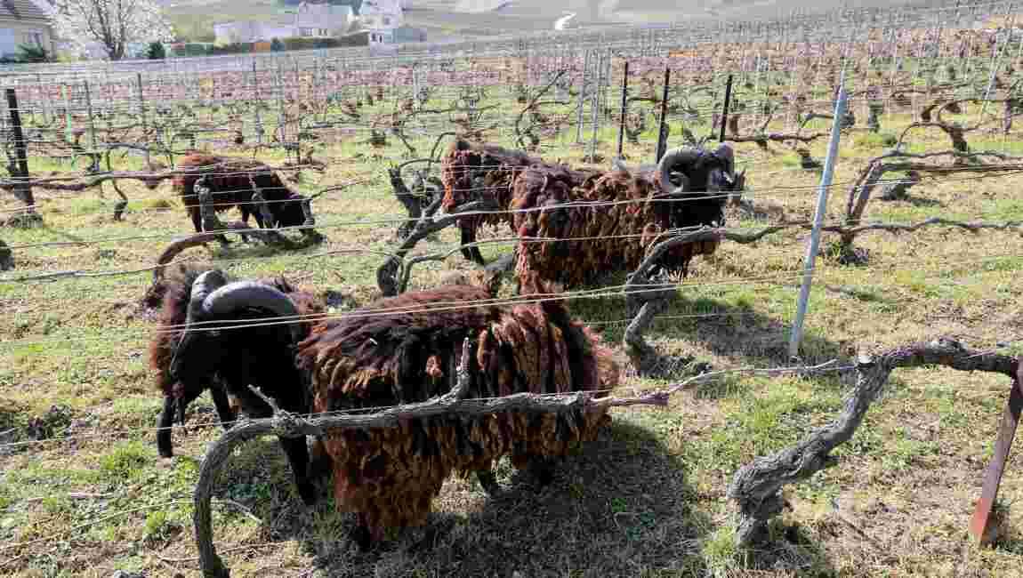 En Champagne, des moutons d'Ouessant protègent l'écosystème dans les vignes