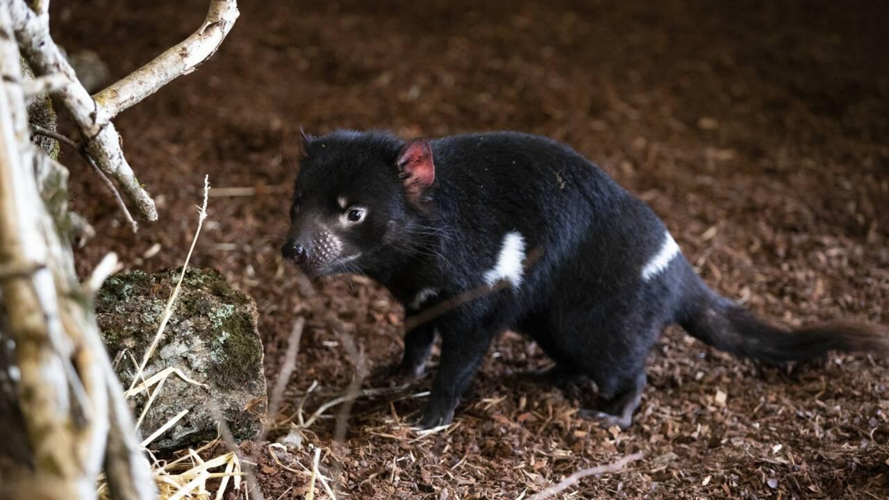 Des diables de Tasmanie au zoo de Beauval : une première en France