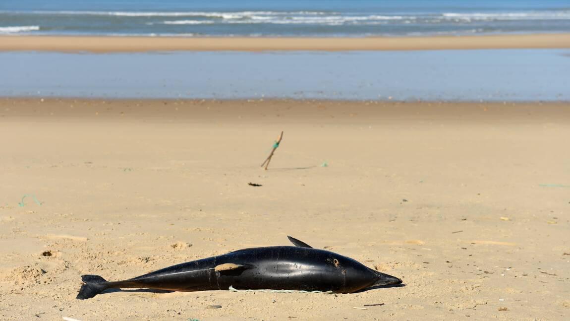 Capture accidentelle de dauphins: bientôt des répulsifs acoustiques sur les filets