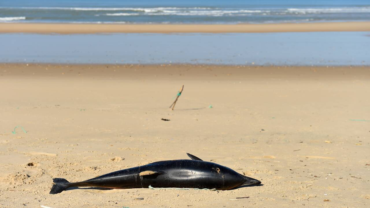 Environ 1 200 dauphins échoués sur la côte atlantique durant l'hiver
