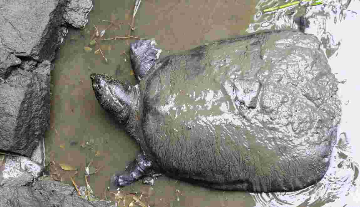 La tortue du Yangtsé au bord de l'extinction après une insémination ratée