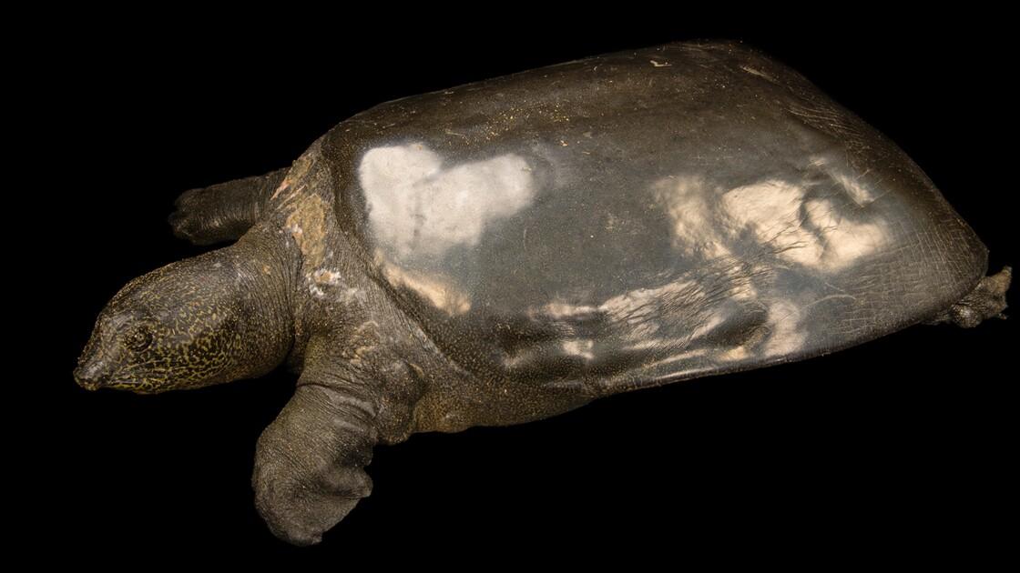 La dernière femelle connue d'une espèce menacée de tortue est morte en Chine