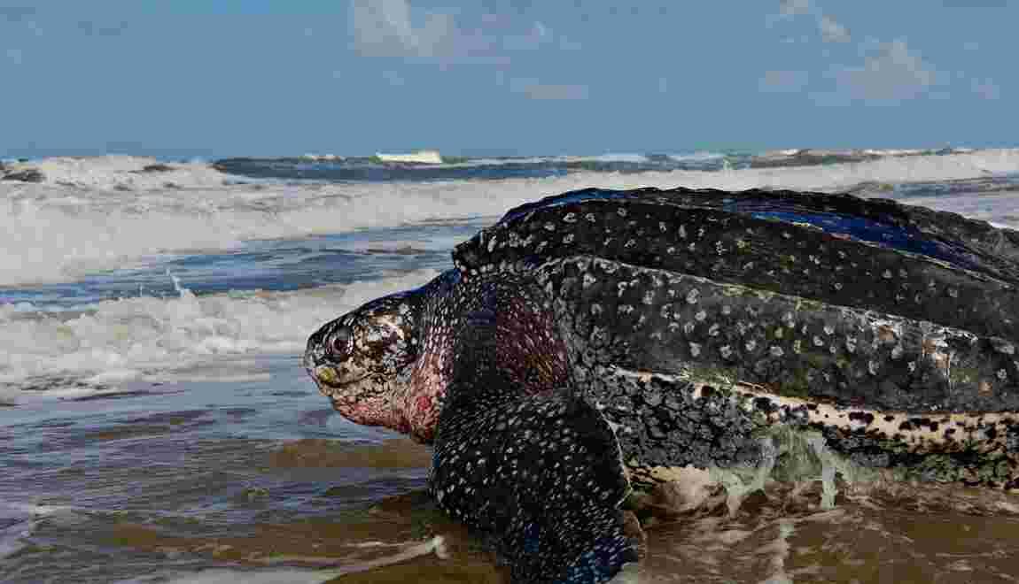 L'absence inhabituelle de tortues marines au Nicaragua inquiète pour leur avenir