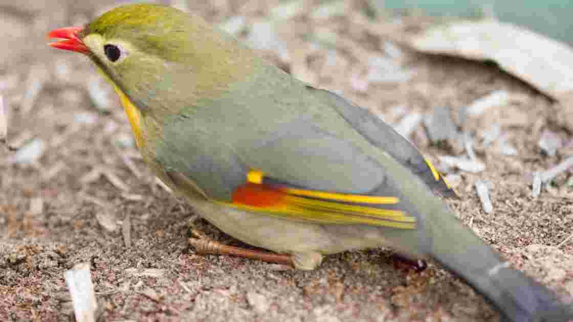 Biodiversité : à Hawaii, les espèces invasives ne font pas que des dégâts