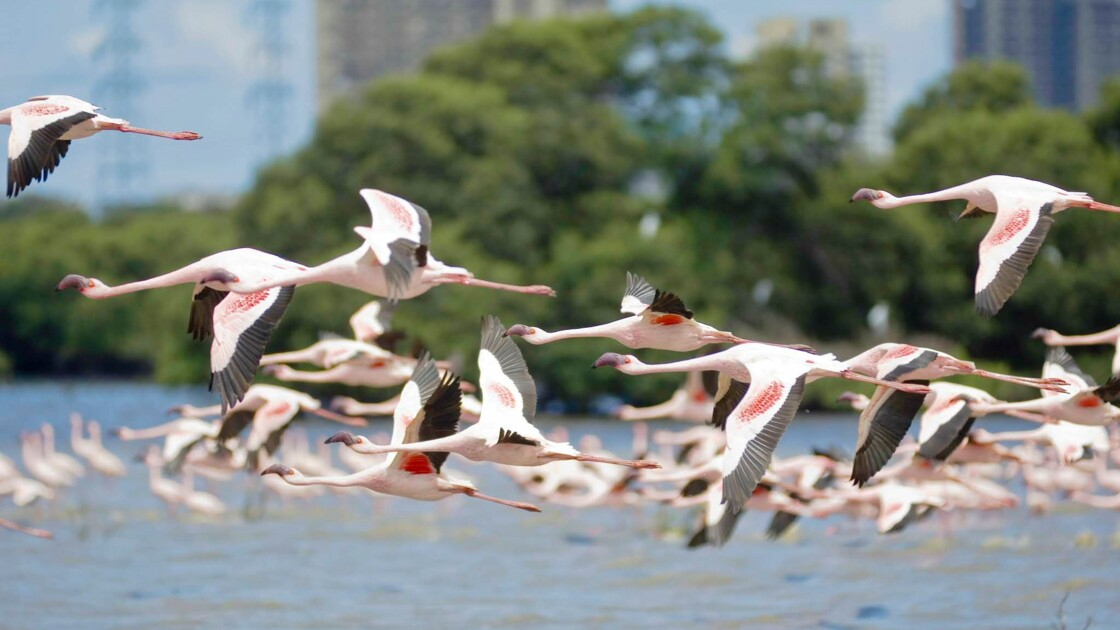 À Mumbai, une algue bleue due à la pollution attire des hordes de flamants roses