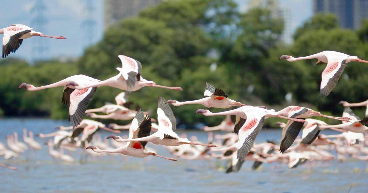 À Bombay, une algue bleue due à la pollution attire des hordes de flamants roses