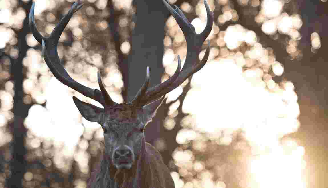 Australie: un cerf tue un homme et blesse grièvement une femme