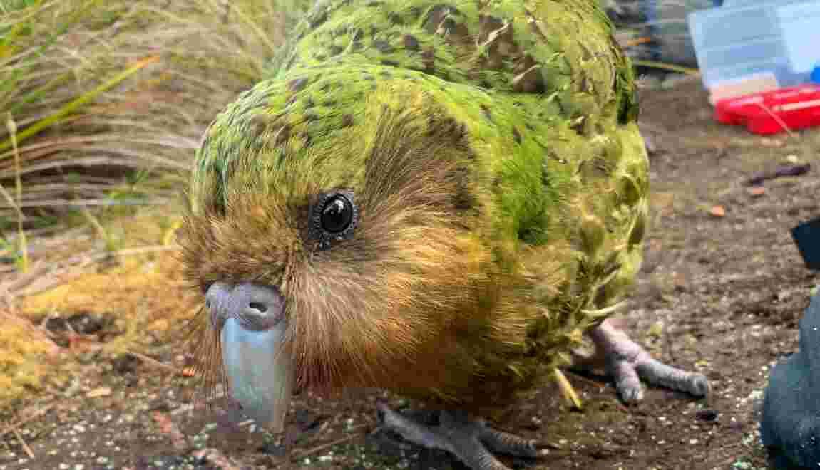 Le kakapo, plus gros perroquet du monde, profite du réchauffement climatique