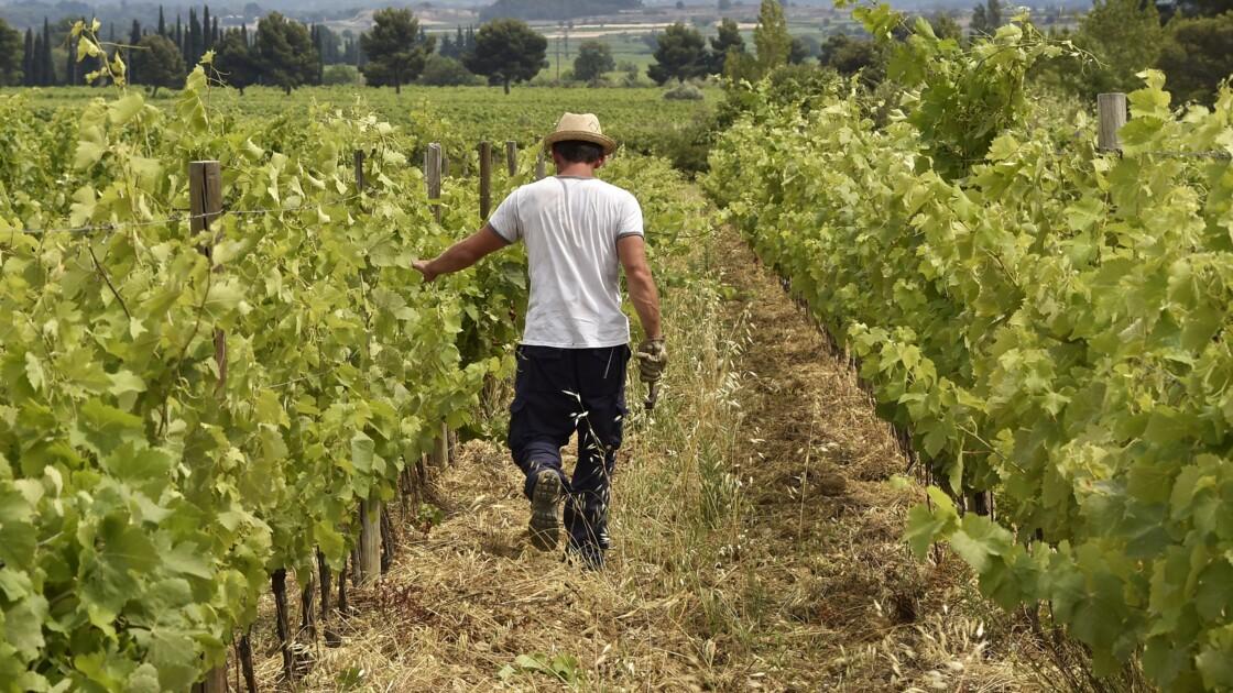 Languedoc: le boom du vin rosé pourrait aider la transition agro-écologique des vignerons