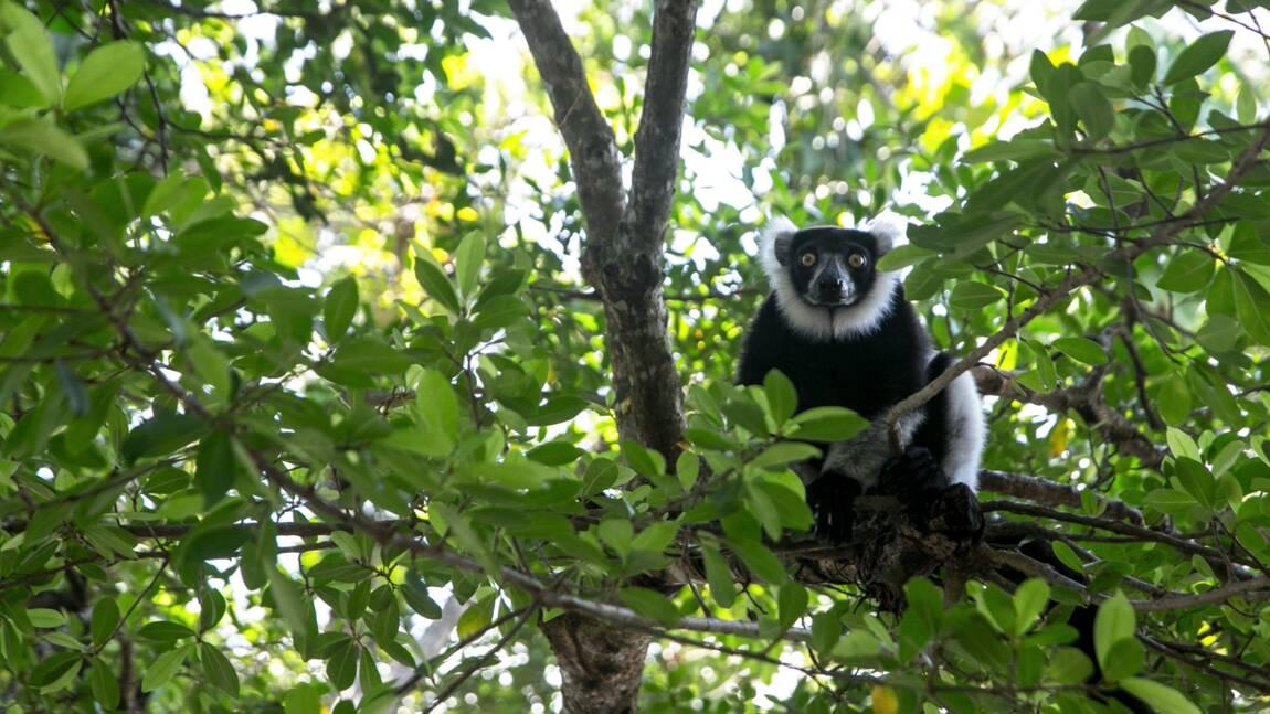 Les lémuriens de Madagascar pourraient perdre la majorité de leur forêt d'ici 2080