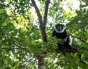 Madagascar: les lémuriens soufflent, le tourisme et la forêt souffrent