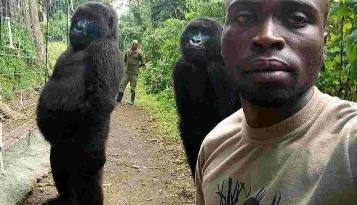 Deux gorilles posent pour un selfie en imitant les rangers qui les ont sauvés du braconnage