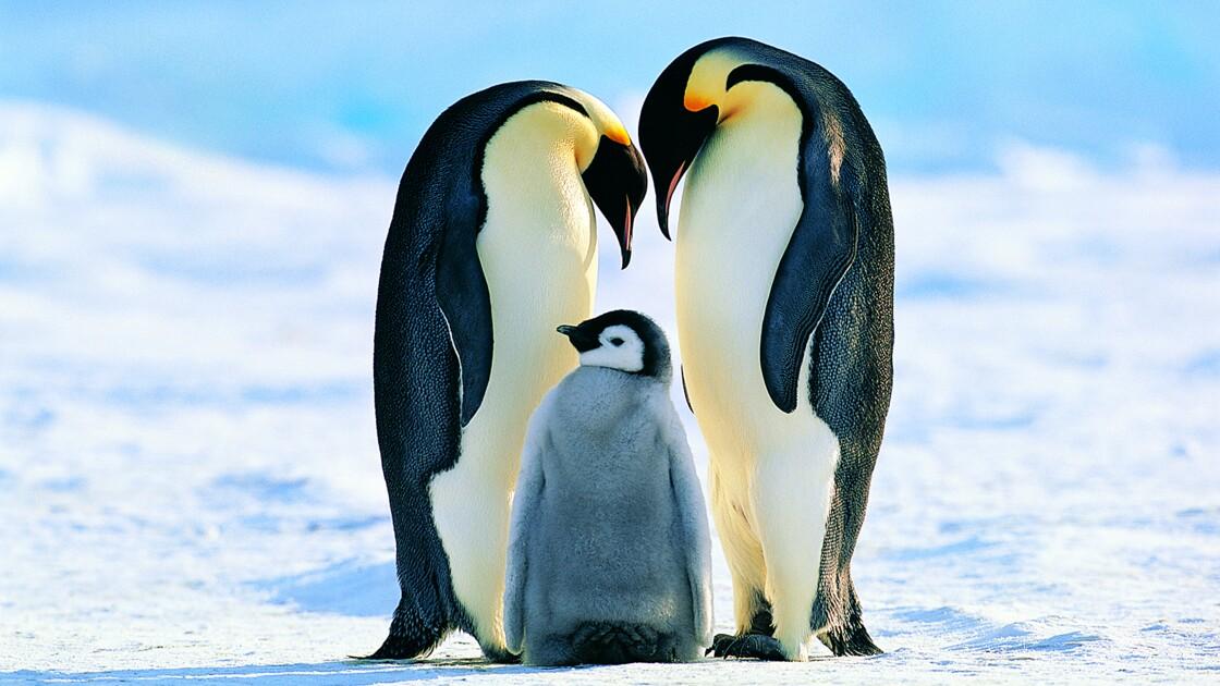 En Antarctique, une colonie entière de manchots empereurs a disparu de son site de reproduction