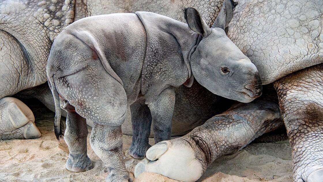 Un petit rhinocéros menacé naît au zoo de Miami grâce à une insémination artificielle