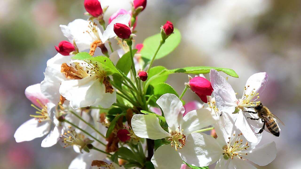 A la saison des pommiers en fleurs, les abeilles-ouvrières sont reines