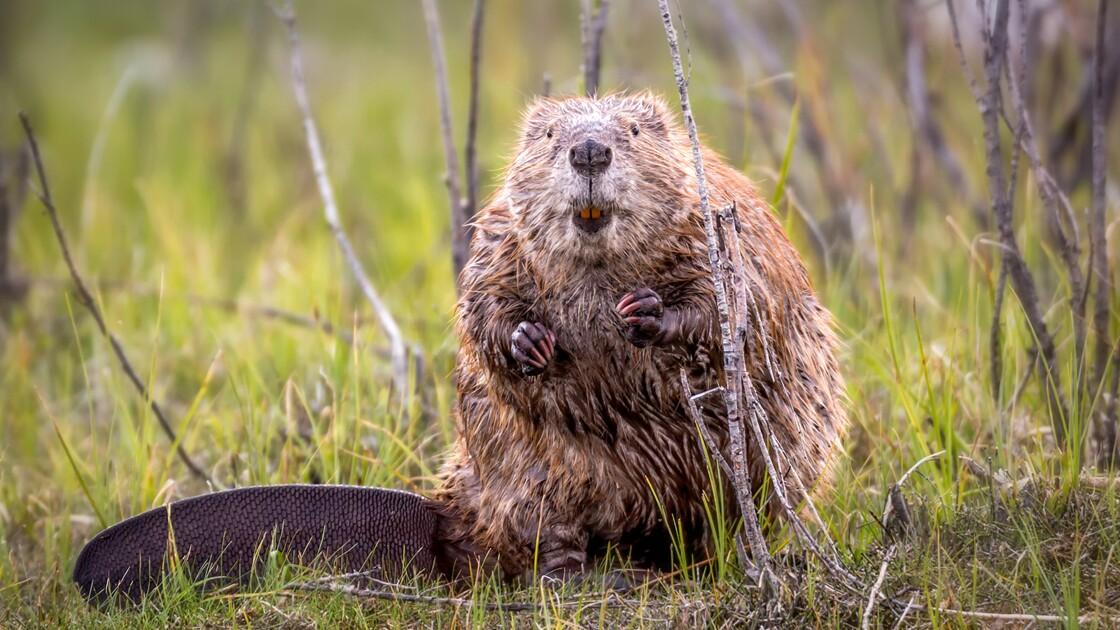 En Écosse, le castor est maintenant une espèce protégée