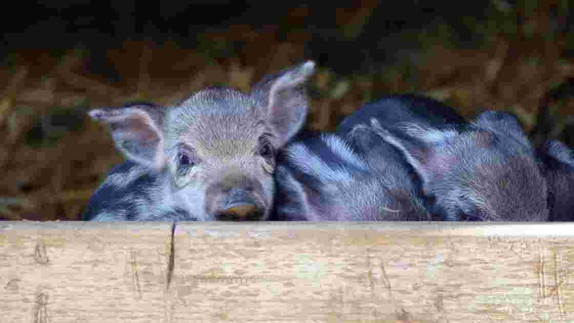 Japon : après les bars à chats, les cafés… à cochons nains
