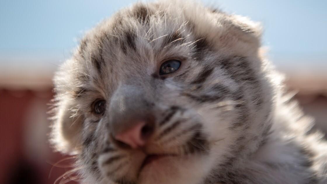 Il détenait un bébé tigre blanc: un homme interpellé dans le Var